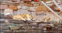 SLEEPING LIONESS & CUBS | Fort Worth Zoo; Fort Worth, Texas