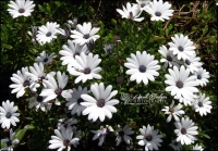 WHITE DAISIES | San Francisco, California