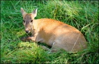 LAZY DOE | Oklahoma City Zoo; Oklahoma City, Oklahoma