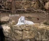MAJESTIC WHITE TIGER | Fort Worth Zoo; Fort Worth, Texas