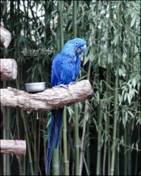 BLUE MACAW | Fort Worth Zoo; Fort Worth, Texas