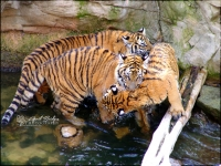 PLAYFUL TIGERS | Fort Worth Zoo; Fort Worth, Texas